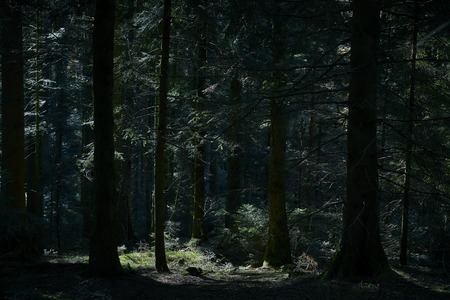 Fir forest dark with sunbeam