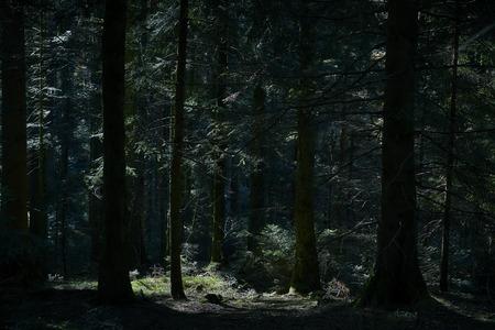 Fir forest dark with sunbeam