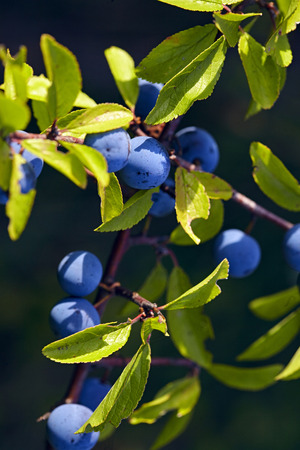 Sloe berries on a branch with green leaves against background black