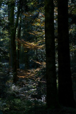 Autumn leaves of a beech in the forest with path and sun and leaves yellow orange