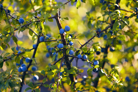 Sloe berries on a branch with green leaves in nature