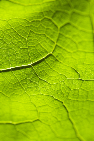 Veins of a leaf green with many ramifications and details