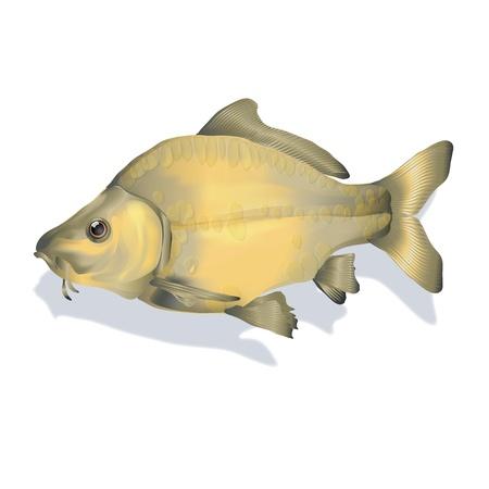 pez carpa: pez carpa Foto de archivo