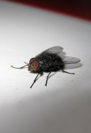 eradication: Fly