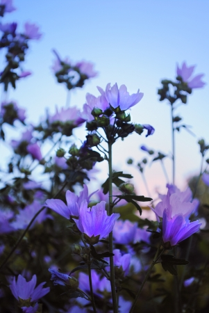 Blue Evening Flowers, Stock Photo - 15378042