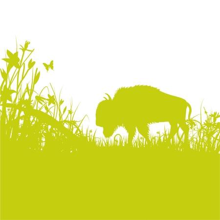 buffalo grass: buffalo in the grass