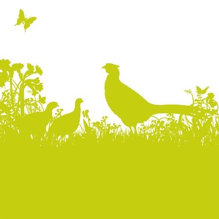 pheasant: Pheasant in the field