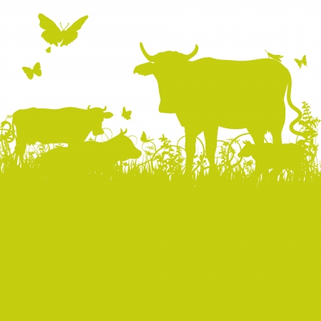 cattle grazing: Cows on the meadow