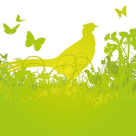 pheasant: Pheasant in the high meadow