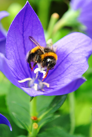 regards: Bee collecting pollen on a blue flower