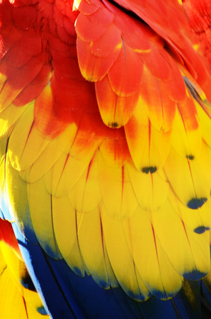 king parrot: Colorful feathers of a parrot