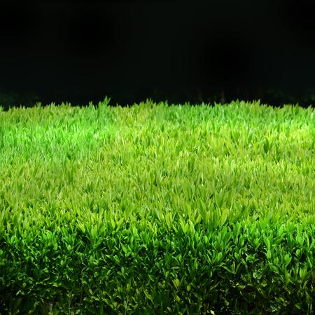 biotope: Green hedge