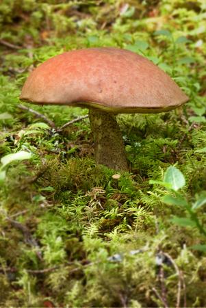 maleza: Mushroom in the forest Foto de archivo