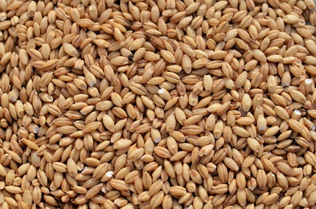 Barley as a staple and grains