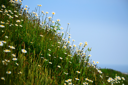 Daisies on the hillside in the dense grass at the sea Reklamní fotografie