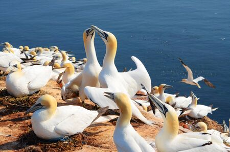 Two gannets at nest building at a cliff Standard-Bild