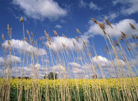 Reeds growing in ditch beside flowering crop of oil seed rape Essex England United Kingdom photo