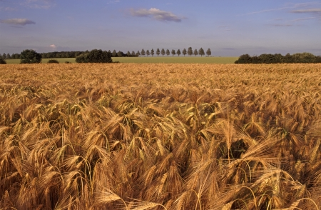 Field of golden barley growing in farmland landscape Essex England United Kingdom photo