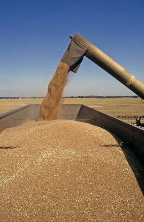 Combine Harvester discharging grain into trailer bins in corn field England  photo
