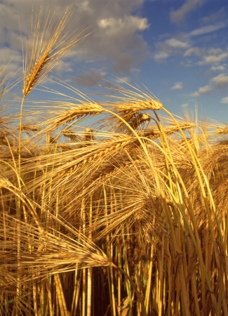 cornfield: Close up of ripe Barley crop just before harvesting