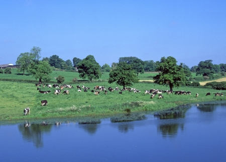holstein cow: Cattle grazing farmland beside river Stock Photo