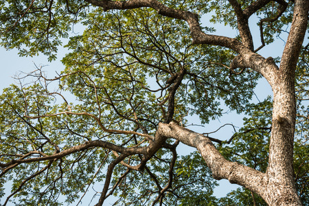 mighty: mighty big tree with green spring leaves