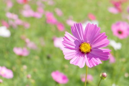 soften: Pink Cosmos flower with blur background (Bright Soften Style)