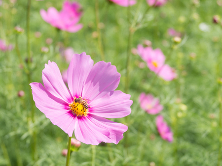 soften: Pink Cosmos flower and honeybee, bee with blur background (Bright Soften Style)
