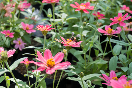 soften: Pink Zinnia flowers and bee with blur background. (Soften Style)