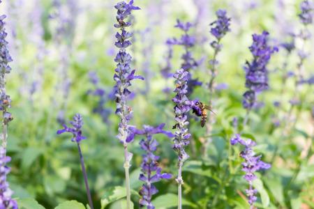 soften: Bee on Blue Salvia garden with blur background. (Soften Style)
