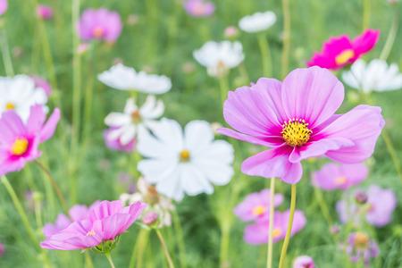 soften: Cosmos flower (Cosmos Bipinnatus) with blur background (Bright Soften Style) Stock Photo