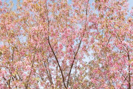 prunus: Wild Himalayan Cherry (Prunus cerasoides) tree branches