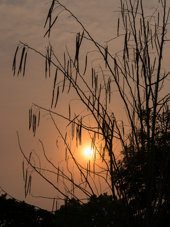 Silhouette of Horse radish tree, Drumstick (Moringa Oleifera Lam.) at sunset Stock Photo