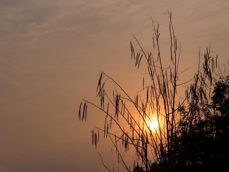 the drumstick tree: Silhouette of Horse radish tree, Drumstick (Moringa Oleifera Lam.) at sunset Stock Photo