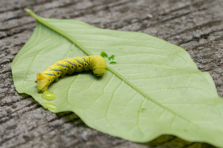 sufferer: Injured caterpillar on green leaf. Copy space
