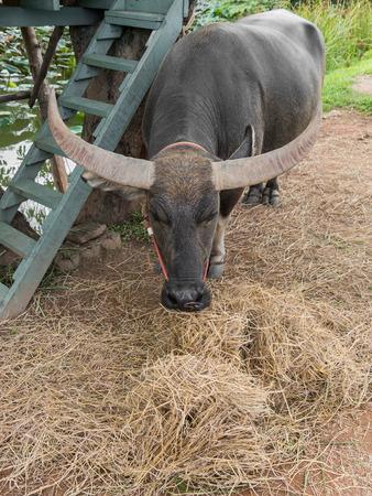 ruminate: Water buffalo eating hay under the tree near pond Stock Photo