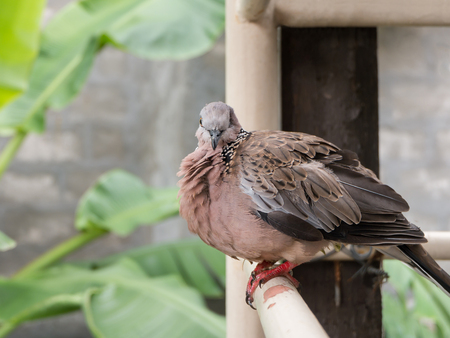 sightless: Spotted turtle dove sitting on balcony