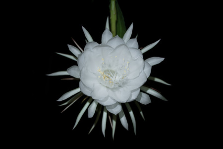 androecium: Pitaya or dragon fruit flower blooming at night.