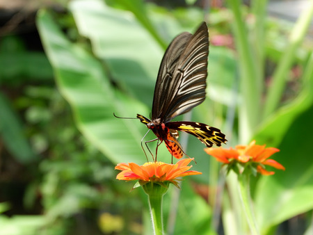 Golden Birdwing (Troides aeacus) butterfly in motion