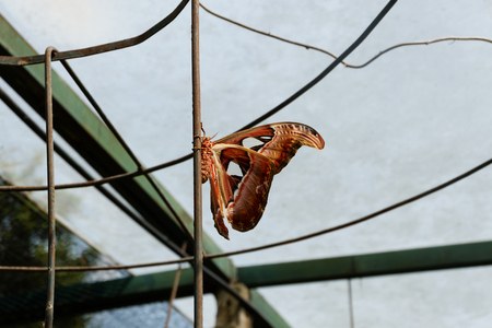 Big butterfly, Giant Atlas Moth or Attacus atlas