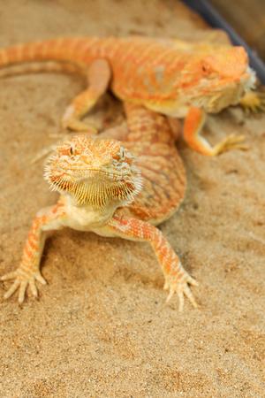 Pogona or Bearded dragon on sand