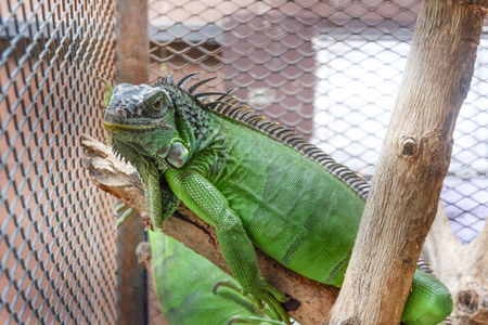 A iguana or green iguana in a cage