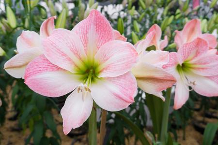 ガーデンアウトドアでブームのアマリリスやヒッペスラムの花