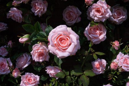 Top view of artificial pink rose for decoration garden Banque d'images - 99779651