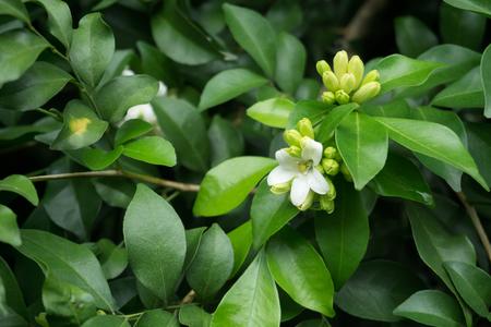 Close up Orange Jasmine (Murraya paniculata) in piena fioritura