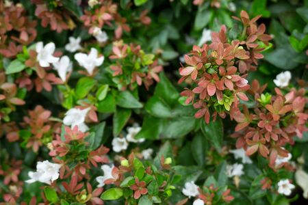 Branch of pink Abelia grandiflora flowers