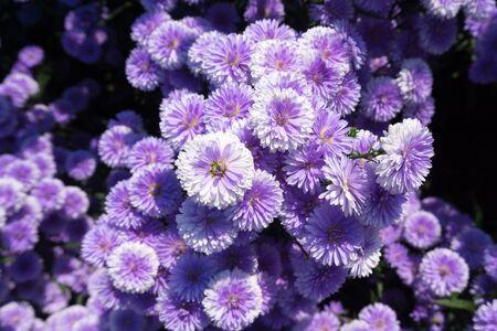 Fresh violet Margaret flowers in the garden 版權商用圖片