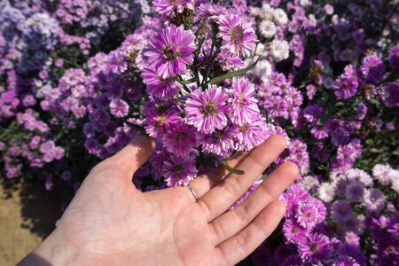 Woman hand touching fresh violet Margaret flowers