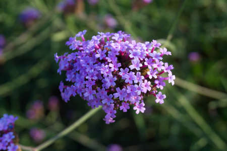 Close up Verbena flowers on blurred background in Mon Jam Chiang Mai, Thailand Фото со стока
