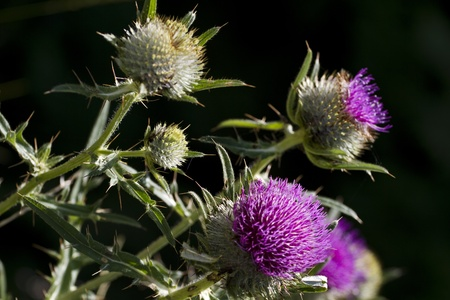 Close up of a purple thistle in a field Stock Photo